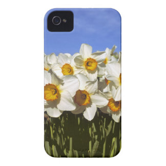 USA, Oregon, Willamette Valley. Daffodils grow iPhone 4 Case