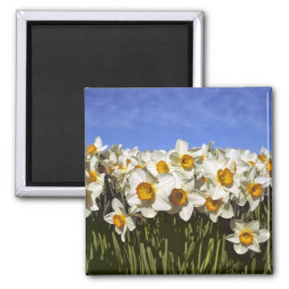USA, Oregon, Willamette Valley. Daffodils grow Square Magnet