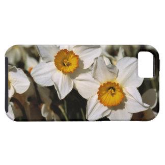USA, Oregon, Willamette Valley. Daffodils iPhone 5 Case