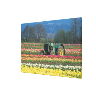 USA, Oregon, Woodburn, Wooden Shoe Tulip 2 Canvas Print