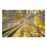 USA, Pacific Northwest. Aspen trees in autumn