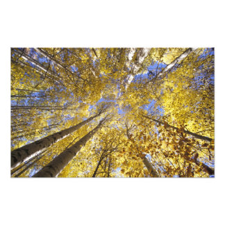 USA, Pacific Northwest. Aspen trees in autumn Art Photo