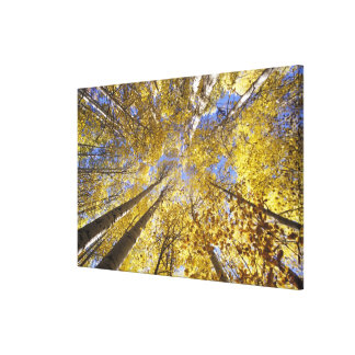 USA, Pacific Northwest. Aspen trees in autumn Canvas Print