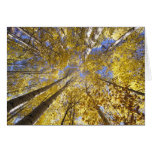 USA, Pacific Northwest. Aspen trees in autumn Greeting Card