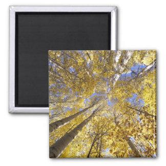 USA, Pacific Northwest. Aspen trees in autumn Magnet