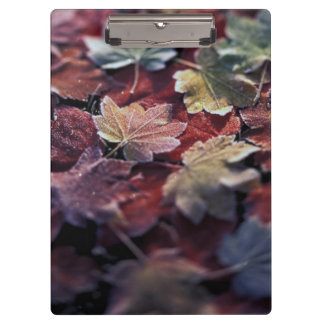 USA, Pacific Northwest. Japanese maple leaves Clipboard