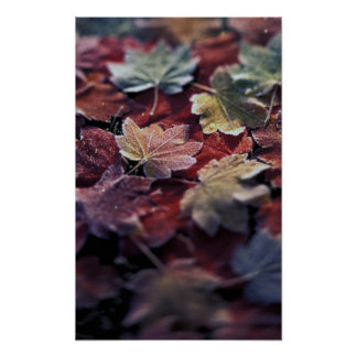 USA, Pacific Northwest. Japanese maple leaves Poster