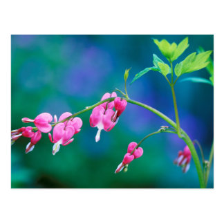 USA, Pennsylvania. Bleeding heart flowers Postcard