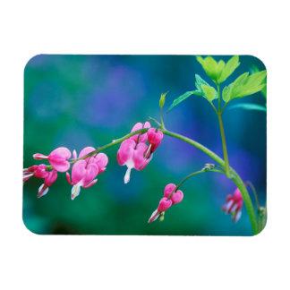 USA, Pennsylvania. Bleeding heart flowers Rectangular Photo Magnet