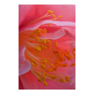 USA, Pennsylvania. Camellia blossom close-up Poster