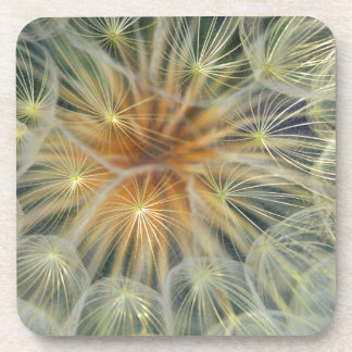 USA, Pennsylvania. Dandelion seedhead close-up Drink Coasters