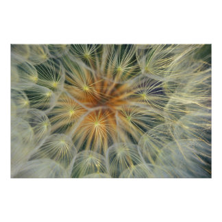 USA, Pennsylvania. Dandelion seedhead close-up Poster