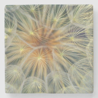 USA, Pennsylvania. Dandelion seedhead close-up Stone Coaster
