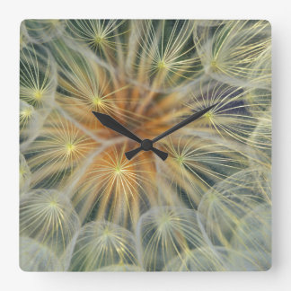 USA, Pennsylvania. Dandelion seedhead close-up Wallclock