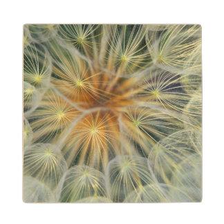 USA, Pennsylvania. Dandelion seedhead close-up Wood Coaster