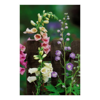 USA, Pennsylvania. Foxglove and delphinium Poster