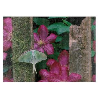 USA, Pennsylvania. Luna moth on fence Cutting Board
