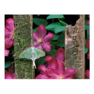 USA, Pennsylvania. Luna moth on fence Postcard