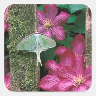 USA, Pennsylvania. Luna moth on fence Square Sticker