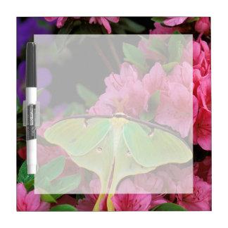 USA, Pennsylvania. Luna moth on pink clematis Dry Erase Board