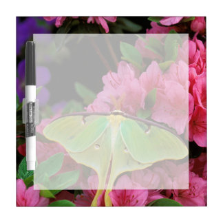 USA, Pennsylvania. Luna moth on pink clematis Dry Erase Boards