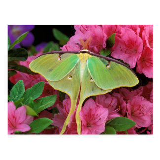 USA, Pennsylvania. Luna moth on pink clematis Postcard