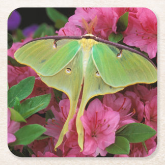 USA, Pennsylvania. Luna moth on pink clematis Square Paper Coaster