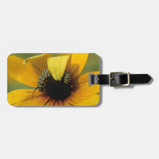 USA, Pennsylvania. Monarch caterpillar on daisy Luggage Tag