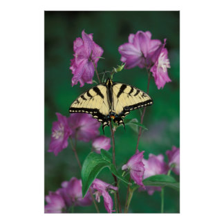 USA, Pennsylvania. Tiger swallowtail Poster