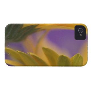 USA, Pennsylvania. Yellow Gerbera Daisies, close iPhone 4 Cover