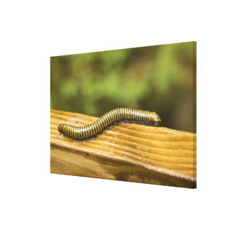 USA, Puerto Rico, Ponce. Millipede. Canvas Prints