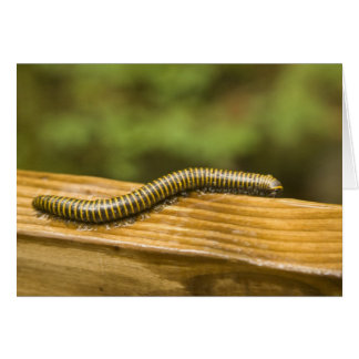 USA, Puerto Rico, Ponce. Millipede. Card