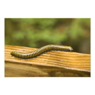 USA, Puerto Rico, Ponce. Millipede. Photo Art
