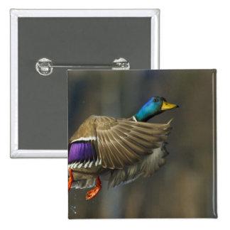 USA, Seattle, Washington. Male Mallard blasts 15 Cm Square Badge