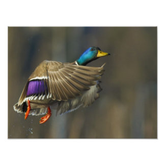 USA Seattle Washington Male Mallard blasts Photo Art