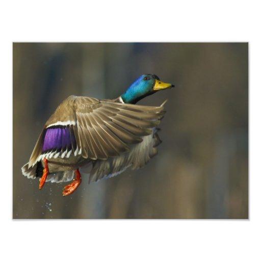 USA, Seattle, Washington. Male Mallard blasts Photographic Print