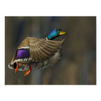 USA, Seattle, Washington. Male Mallard blasts Poster