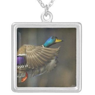 USA, Seattle, Washington. Male Mallard blasts Silver Plated Necklace
