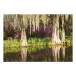 USA, South Carolina, Charleston. Cypress Trees Photo Art