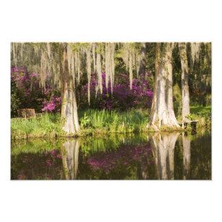 USA South Carolina Charleston Cypress Trees Photo Art