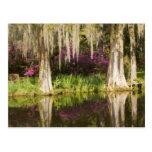 USA, South Carolina, Charleston. Cypress Trees Postcard