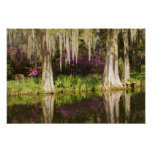 USA, South Carolina, Charleston. Cypress Trees Poster