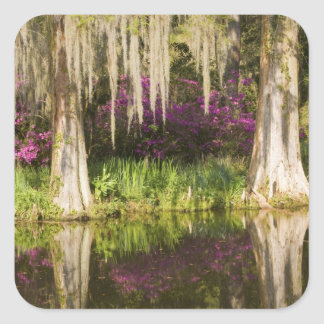 USA, South Carolina, Charleston. Cypress Trees Square Sticker