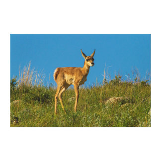 USA, South Dakota. Pronghorn Fawn In Custer Gallery Wrapped Canvas
