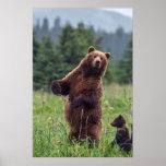 USA, Southeast Alaska, Brown Bear and cub Poster