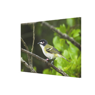 USA, Texas, Balcones Canyonlands NWR. Young Canvas Print