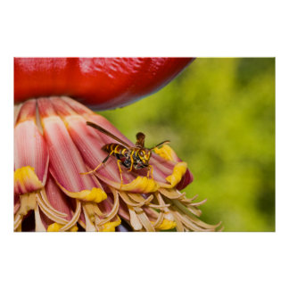 USA, Texas, Brownsville. Paper Wasps Poster