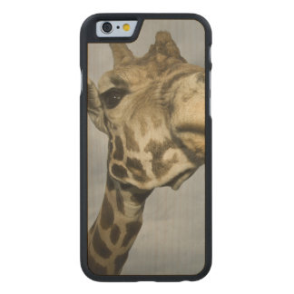 USA, Texas, Fossil Rim Wildlife Area, giraffe Carved® Maple iPhone 6 Case