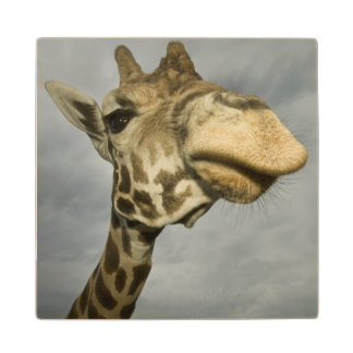 USA, Texas, Fossil Rim Wildlife Area, giraffe Wood Coaster