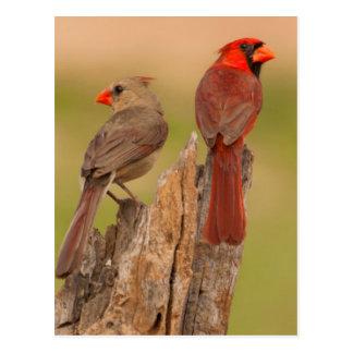 USA, Texas, Hidalgo County. Cardinal Pair Postcard
